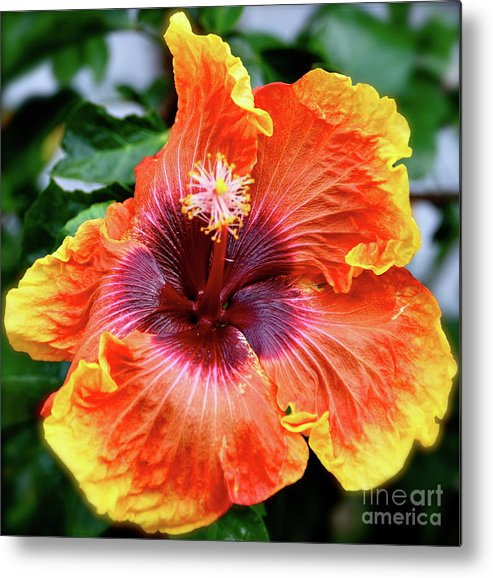 Hibiscus Metal Print featuring the photograph Hibiscus by Lori Leigh