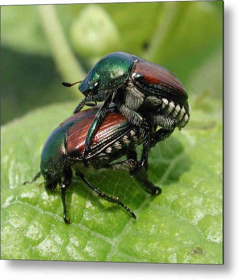 Nature Metal Print featuring the photograph Japanese Beetles Mating by Matt Cormons
