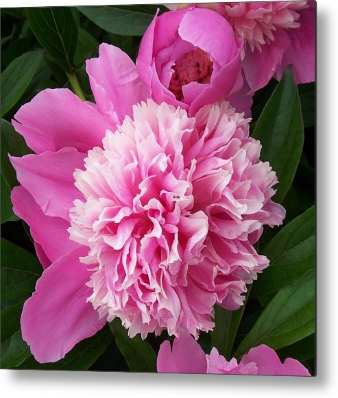 Flowers Metal Print featuring the photograph Peony With Ant by Ellen B Pate