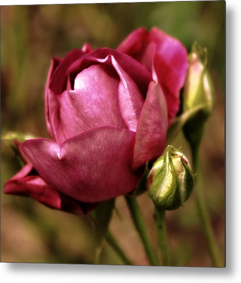 Flowers Metal Print featuring the photograph Purple Rose by Cathie Tyler