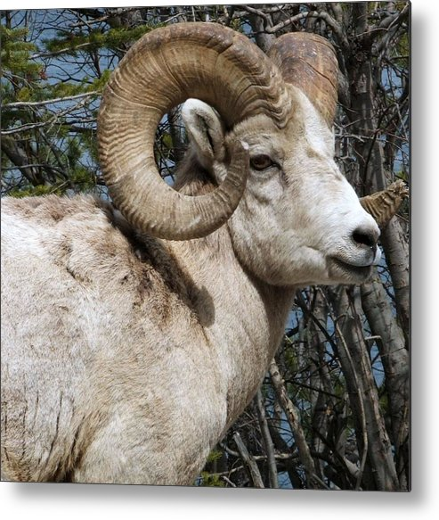 Wildlife Metal Print featuring the photograph Rocky Mountain Ram by Tiffany Vest