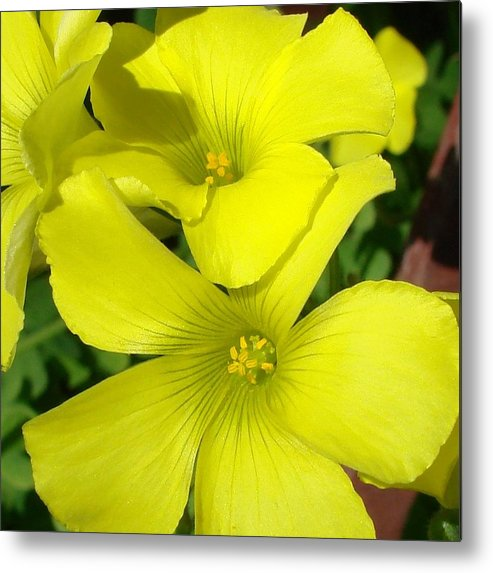 Flower Metal Print featuring the photograph Spring Yellow by Liz Vernand