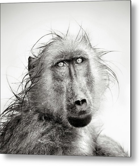 Baboon Metal Print featuring the photograph Wet Baboon Portrait by Johan Swanepoel