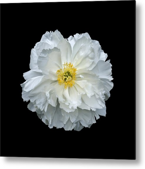 Peonies Metal Print featuring the photograph White Peony by Charles Harden
