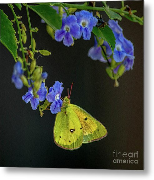 Yellow Metal Print featuring the photograph Yellow Grass Butterfly by Cathie Moog