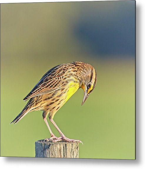 Nature Metal Print featuring the photograph Meadowlark No 3 by Steve DaPonte