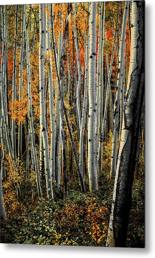 Aspens Metal Print featuring the photograph Aspens 6 2014 by Jim Painter