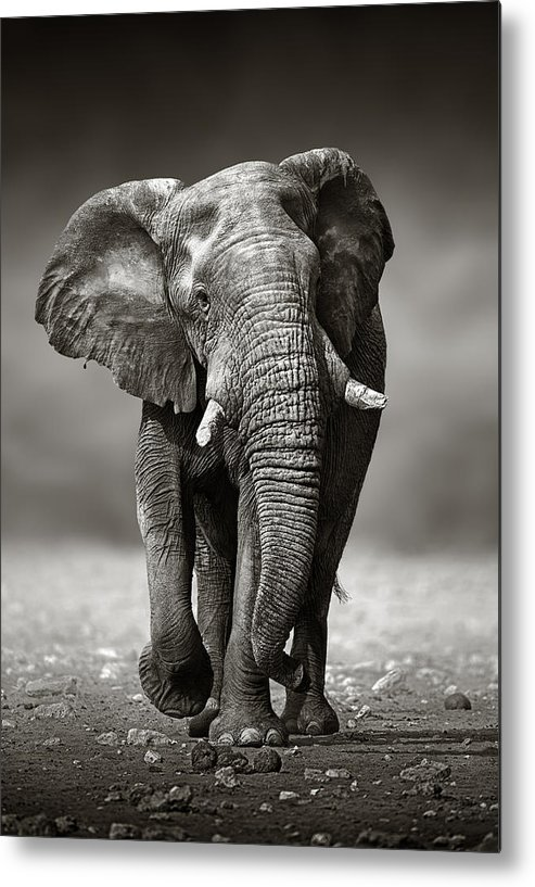 Elephant Metal Print featuring the photograph Elephant approach from the front by Johan Swanepoel