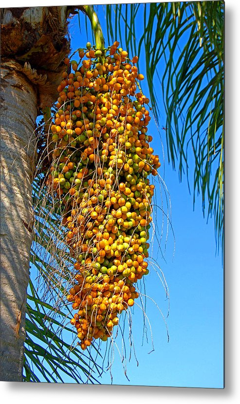 Palm Metal Print featuring the photograph Fruit of The Queen Palm by Donna Proctor