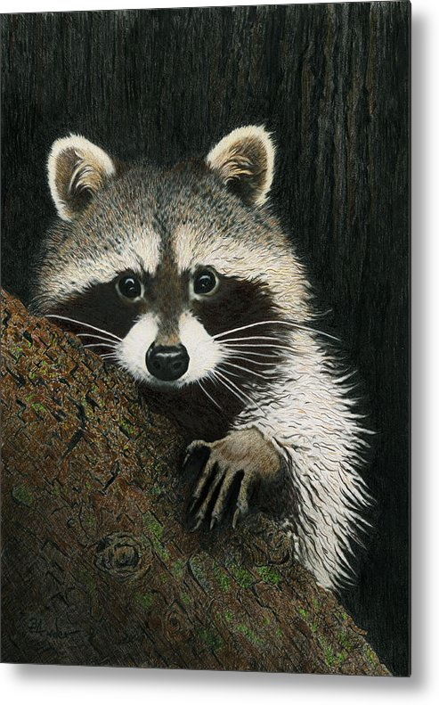 Raccoon Metal Print featuring the drawing Night Raider by Brent Ander