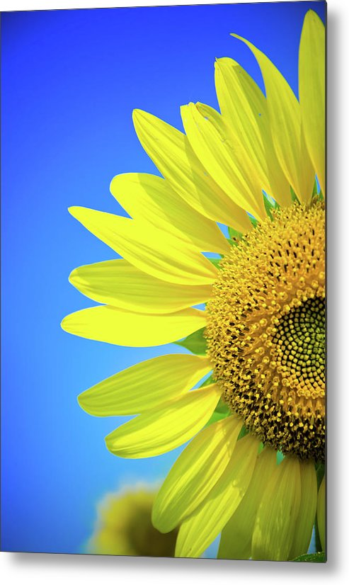 Clear Sky Metal Print featuring the photograph Sunflower Against Blue Sky by N. Umnajwannaphan