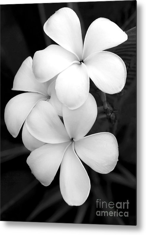 Macro Metal Print featuring the photograph Three Plumeria Flowers in Black and White by Sabrina L Ryan