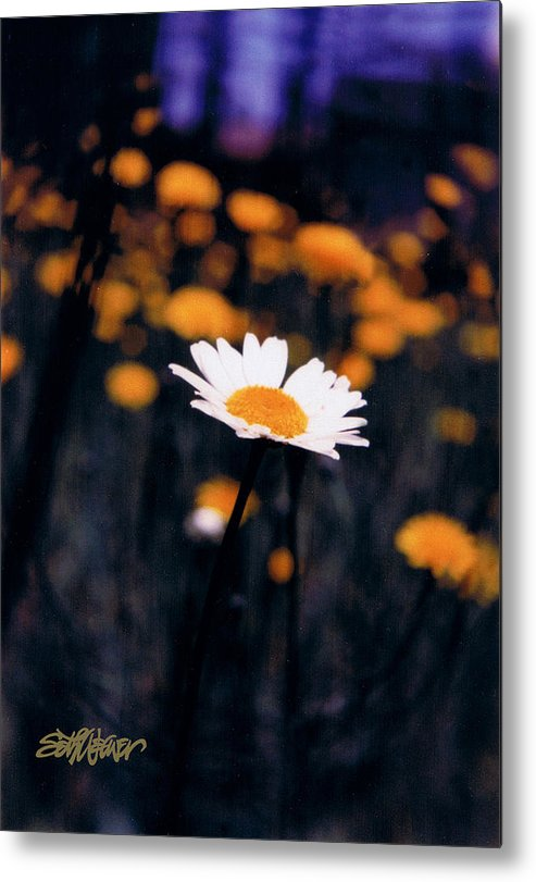 A Daisy Alone Metal Print featuring the photograph A Daisy Alone by Seth Weaver