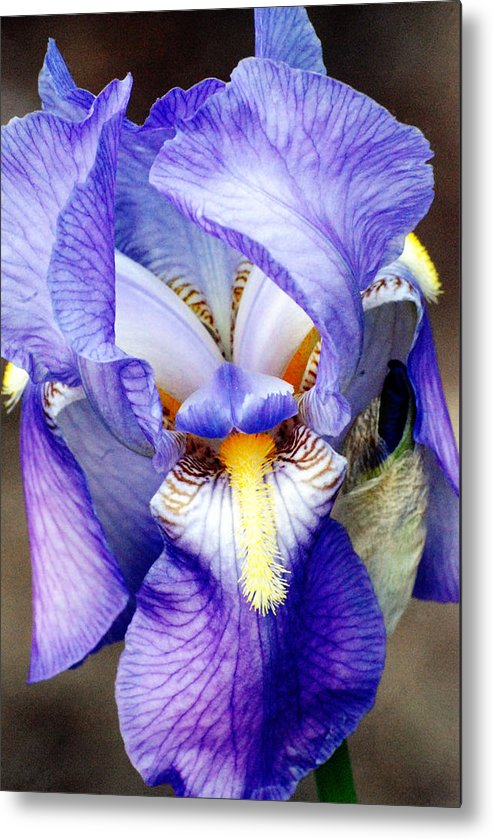 Iris Metal Print featuring the photograph Blue Bearded Iris by Mark Wiley