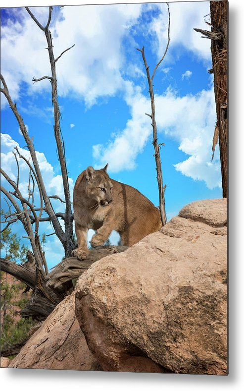 Cougar Metal Print featuring the photograph Crouching Cougar by Roy Nierdieck