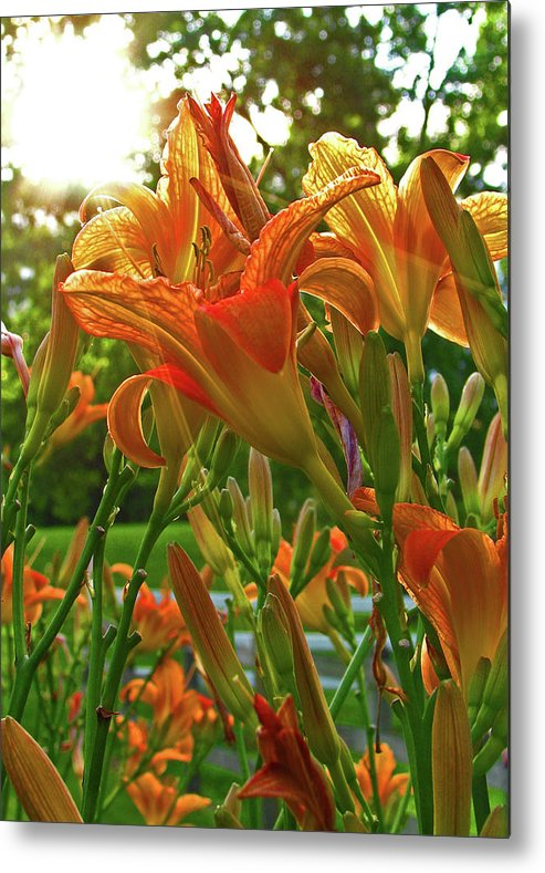 Liliy Metal Print featuring the photograph Sun Through The Tiger Lily by Deborah Johnson