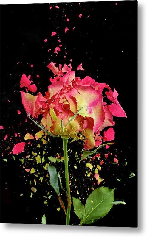 Black Background Metal Print featuring the photograph Exploding Rose by Don Farrall