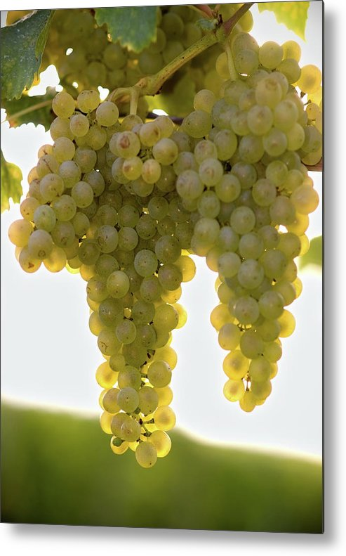 Sonoma County Metal Print featuring the photograph Golden Wine by Farbenrausch