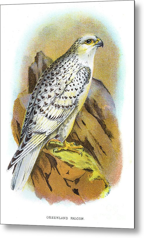 Engraving Metal Print featuring the digital art Greenland Falcon Engraving 1896 by Thepalmer