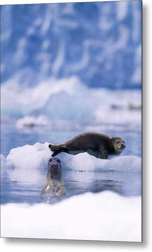 Animal Themes Metal Print featuring the photograph Harbor Seal Phoca Vitulina In Glacial by Paul Souders