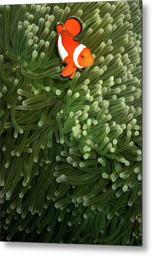Underwater Metal Print featuring the photograph Orange Fish With Yellow Stripe by Perry L Aragon