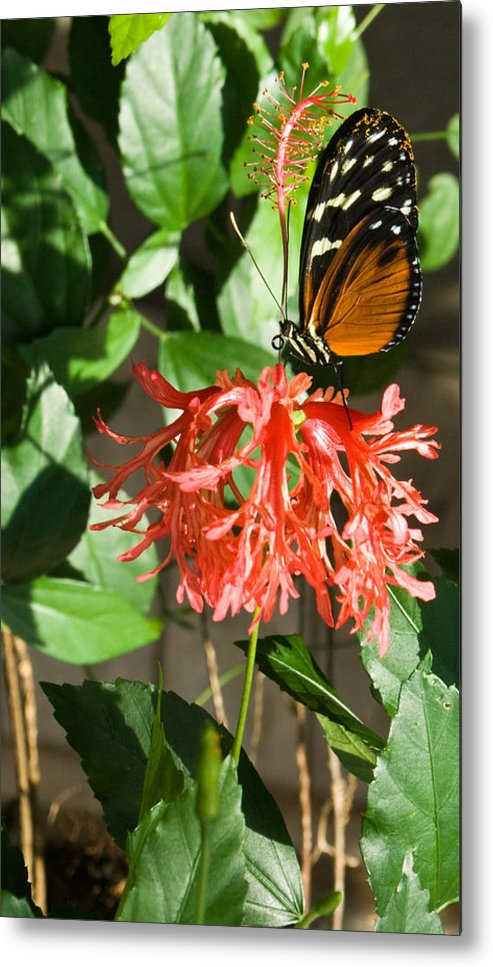 Butterfly Metal Print featuring the photograph Exotic Butterfly on Flower by Douglas Barnett