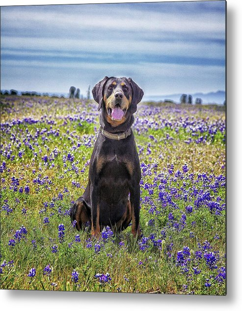Animal Themes Metal Print featuring the photograph Black And Tan Coonhound In Field Of by Sunmallia Photography