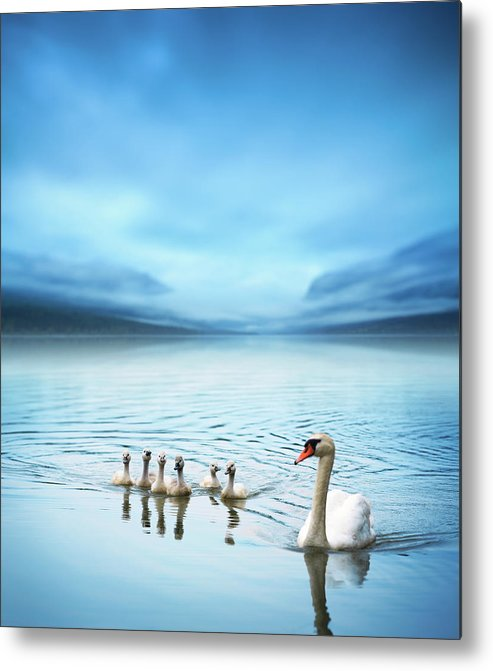 Scenics Metal Print featuring the photograph Swan Family On The Lake by Borchee
