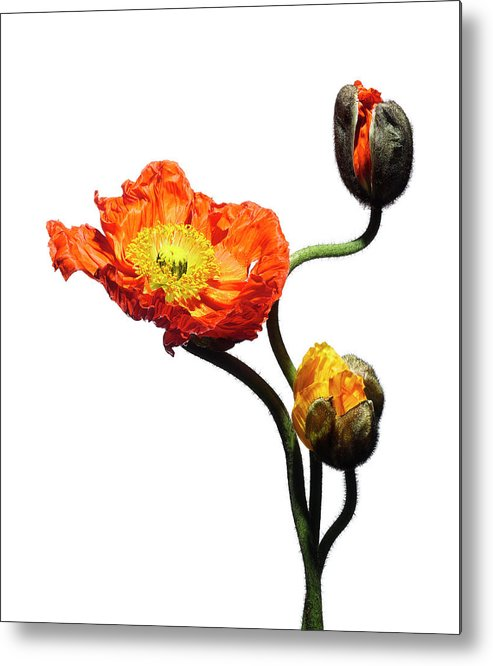 White Background Metal Print featuring the photograph Blossoming Poppy Flowers On White by Chris Stein