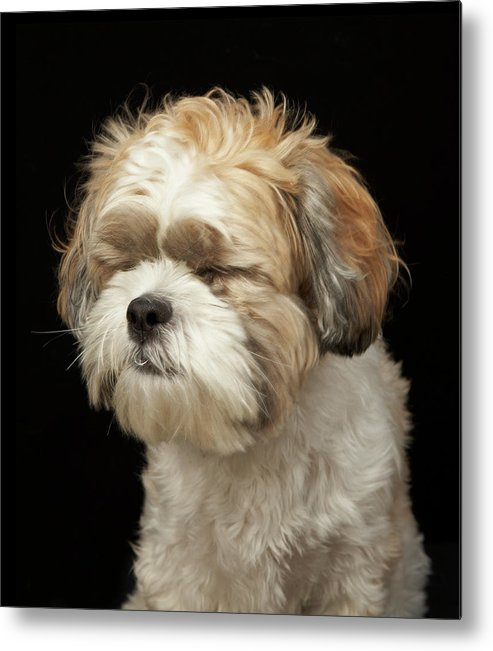 Pets Metal Print featuring the photograph Brown And White Shih Tzu With Eyes by M Photo