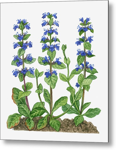 Watercolor Painting Metal Print featuring the digital art Illustration Of Ajuga Reptans Blue by Michelle Ross