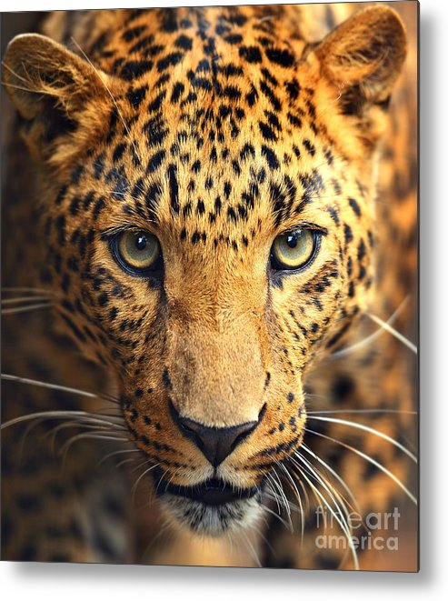 Big Metal Print featuring the photograph Leopard Portrait by Kyslynskahal