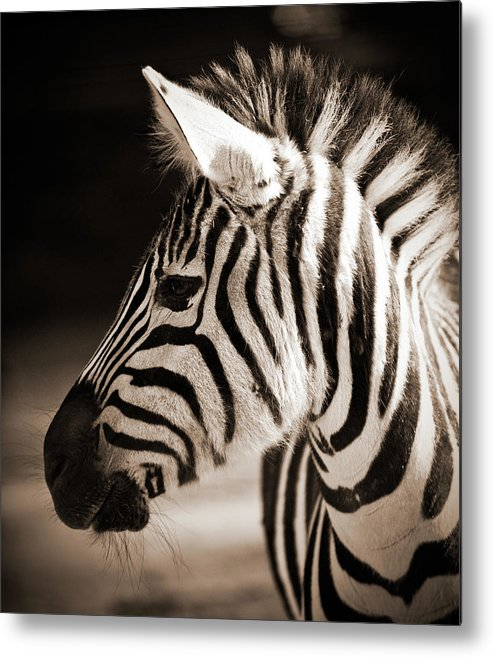 Black Color Metal Print featuring the photograph Portrait Of A Young Zebra by Cruphoto