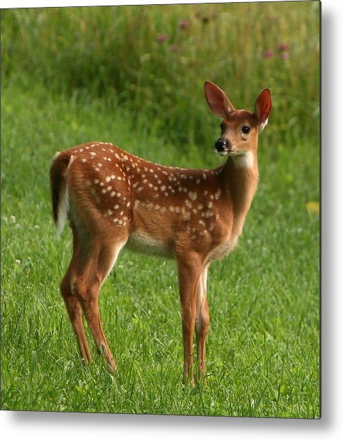 Grass Metal Print featuring the photograph Spotted Fawn by Spiraling Road Photography