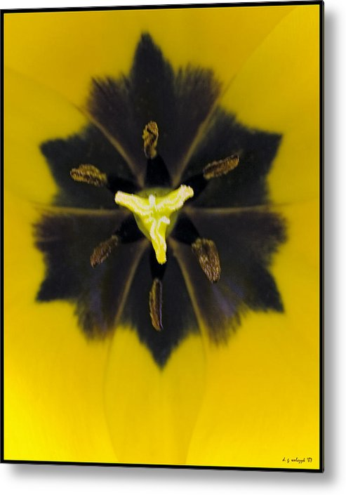 Flora Metal Print featuring the photograph Tulip Pixie by Daniel G Walczyk