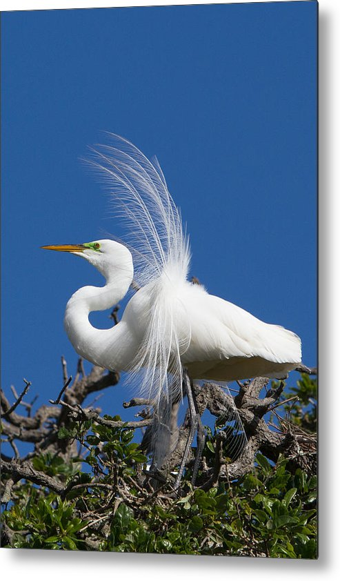 Common Egret White Metal Print featuring the photograph Egret by Raymond Poynor