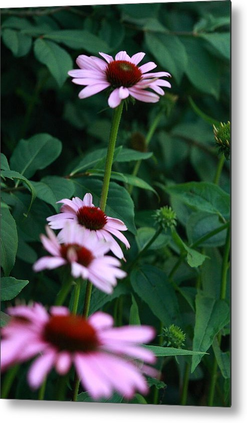 Nature Photo Metal Print featuring the photograph African Daisies 3 by Vivian Cosentino
