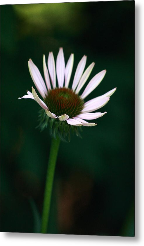 Nature Photo Metal Print featuring the photograph African Daisies 9 by Vivian Cosentino