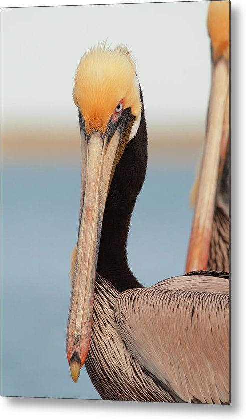 Brown Pelican Metal Print featuring the photograph Yes I Am Pretty by Andrew McInnes