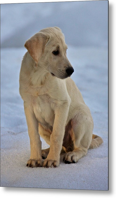 Dog Metal Print featuring the photograph Yellow Lab by Steven Lapkin