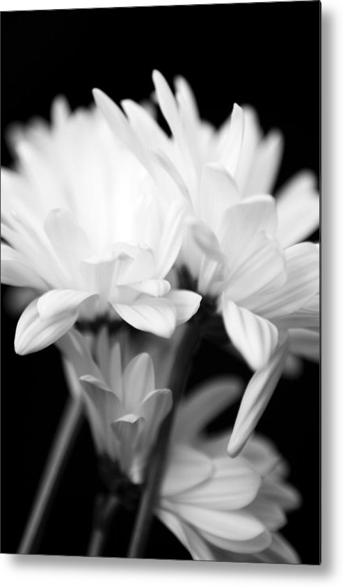 Floral Metal Print featuring the photograph Daises In Black And White by Ayesha Lakes