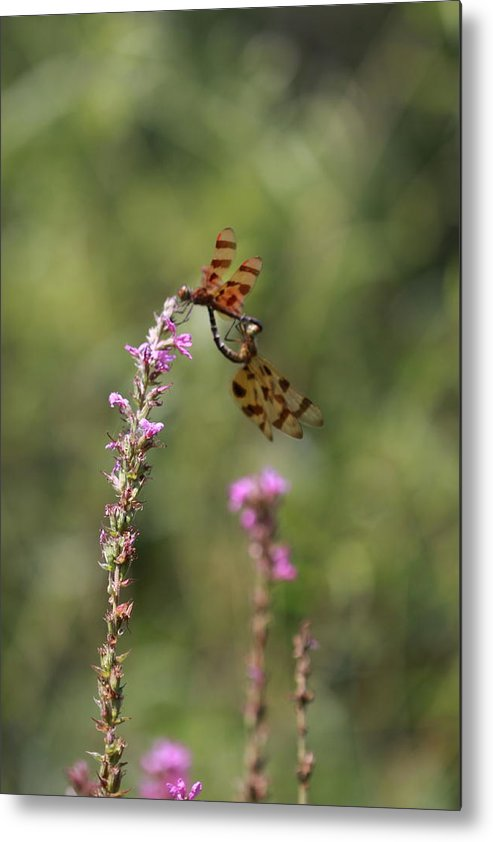 Dragonfly Metal Print featuring the photograph Flower Field Dance by Paul Slebodnick