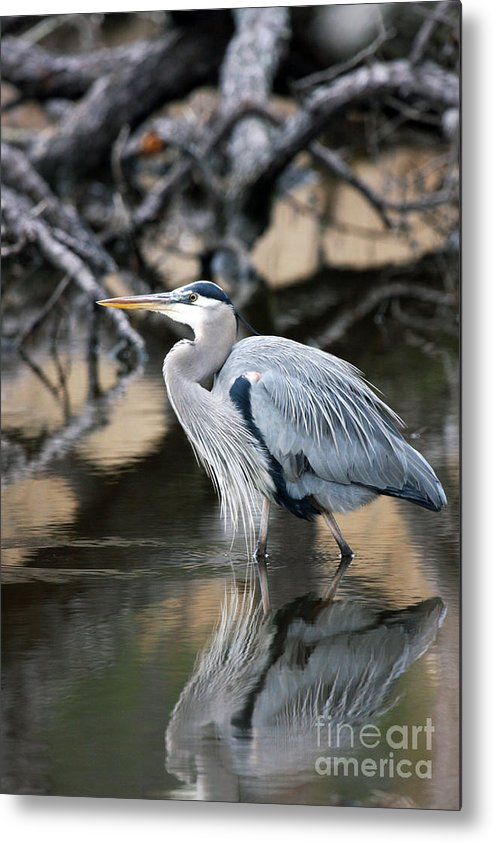 Great Blue Heron Metal Print featuring the photograph Heron Wading by J L Gould