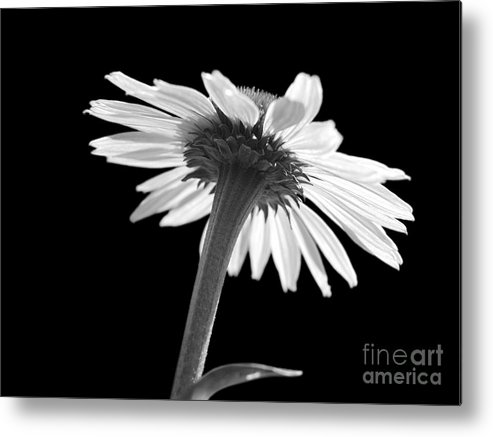 Echinacea Metal Print featuring the photograph Coneflower by Tony Cordoza
