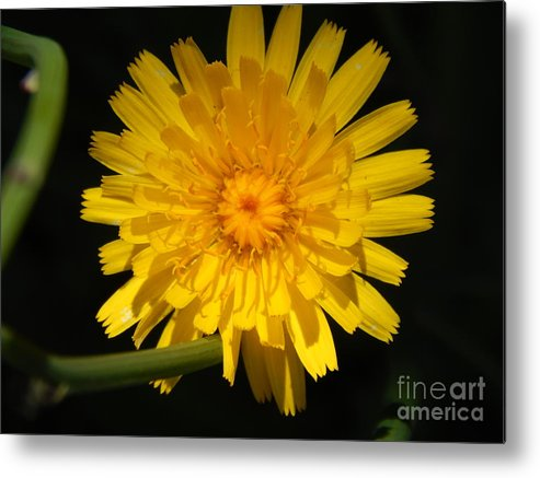 Flower Yellow Petals Stem Metal Print featuring the photograph Glorious by Susan Ince