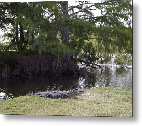 Fresh Metal Print featuring the photograph Go Gators by William Ragan