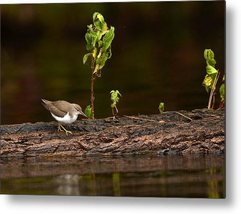 Waterfowl Metal Print featuring the photograph Sandpiper by Eric Abernethy