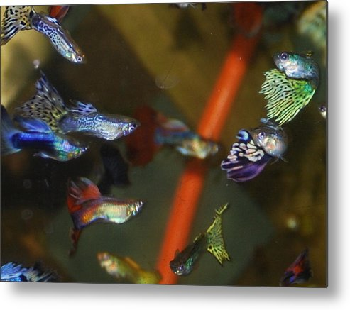 My Aquarium Metal Print featuring the photograph Fancy Guppys by Robert Floyd