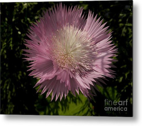 Flowers Metal Print featuring the photograph Love Flowers by Baljit Chadha