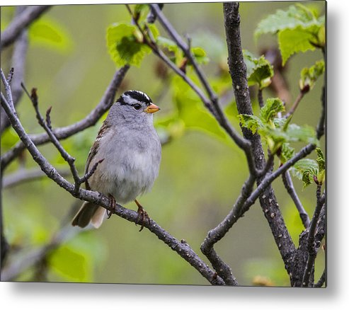 Doug Lloyd Metal Print featuring the photograph Whitecrowned Sparrow by Doug Lloyd